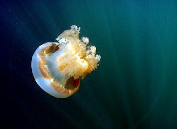 Jellyfish.  Very shallow water, Jelly Fish Lake, Palau, M... by Simon Bolivar