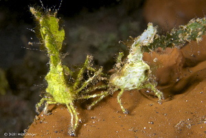 """Mr & Mrs""  Halemeda Crabs watching TV together !! by Debi Henshaw"