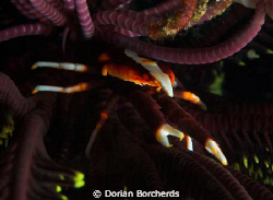 Squat Lobster at the base of a Chrynoid.Used Nikon D70s,6... by Dorian Borcherds