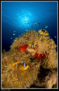 Red anemone with anemone fish at Shaab Claudio. by Dray Van Beeck