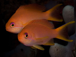 Anthias. Amed, Bali. by Doug Anderson