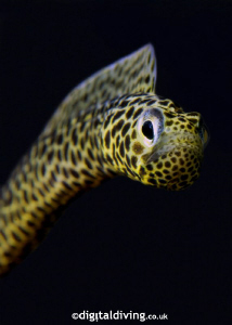 """""""Taylored"""" - portrait of a Taylors Garden Eel. by David Henshaw"""