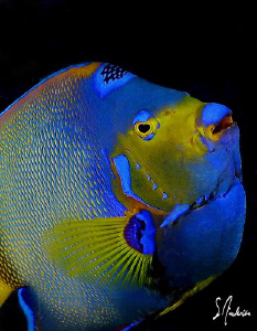 The Queen of the Caribbean - This Queen Angelfish almost ... by Steven Anderson
