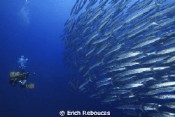 Shooting from the hips! Diver and school of barracudas in... by Erich Reboucas