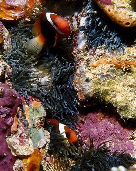 Anemonefish on the Kensho Maru, Truk Lagoon. by Eric Bancroft