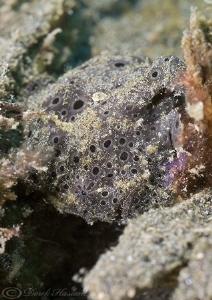 Painted frogfish. Lembeh straits. D200, 60mm. by Derek Haslam