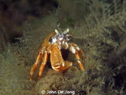Our waters can be grey, but these heremite lobsters make ... by John De Jong