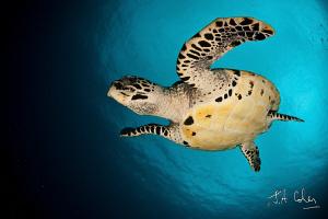 Hawksbill Turtle by Julian Cohen