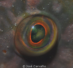 Eye of a wrasse - Sesimbra, Portugal. Nikkor 105mm. by José Carvalho