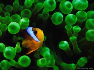 Anemone fish (Cloun) by Aleksandr Marinicev