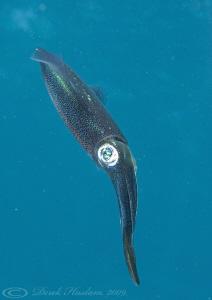 Reef squid. Marsa Alam. D3, 105mm. by Derek Haslam