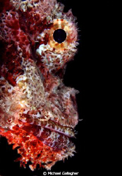 Scorpionfish portrait, taken at night in the Red Sea by Michael Gallagher
