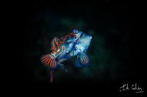 Mating Mandarin Fish by Julian Cohen