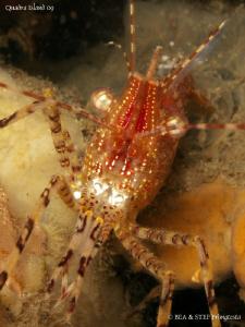 Rough patch shrimp (Pandalus stenolepis). Quadra Island, ... by Bea & Stef Primatesta