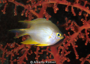 Portrait of a Damselfish  (Chromis sp.)  in front of a re... by Alberto Romeo