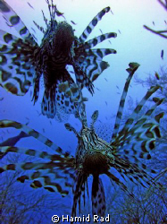 Lionfish x 2 in Maaya Thila, Maldives by Hamid Rad