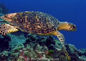 Sea Turtle by Mordechai Saxon