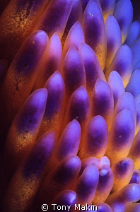 Gas flames. Abstact of the cerata of a gas flame nudibranch by Tony Makin