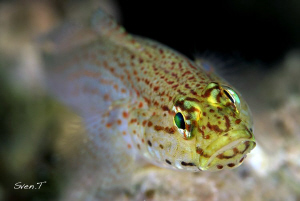 Golden goby (Gobius xanthocephalus) by Sven Tramaux
