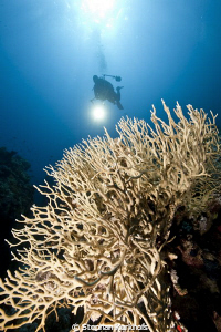 Coral at ras umm sid. by Stephan Kerkhofs