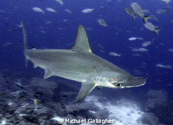 Scalloped Hammerhead Shark at Darwin's Arch in the Galapagos by Michael Gallagher