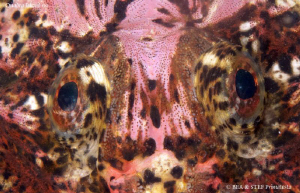 """""""Eyes"""" buffalo sculpin, Enophrys bison. Quadra Island, BC... by Bea & Stef Primatesta"""