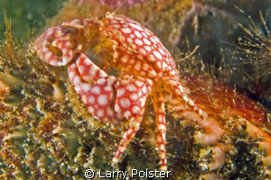 Spotted Porcelain Crab. D300-60mm by Larry Polster
