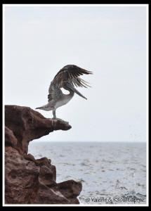 Pelican ready to fly ! by Raoul Caprez