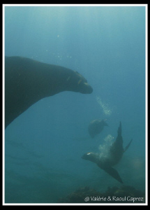 Sea lions in the Cortez sea. by Raoul Caprez