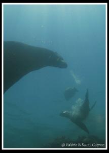 Sea lions in the Cortez sea. by Raoul Caprez