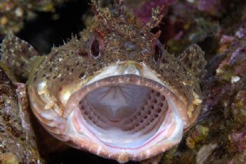 Whether this scorpionfish is yawning or yelling, I'm not ... by Erin Quigley