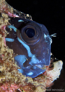Peek-a-Boo! Some kind of Blenny but I can't ID him! by Debi Henshaw