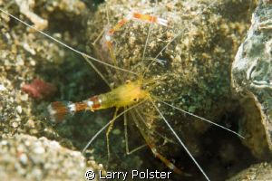 Golden Shrimp. D300-60mm by Larry Polster