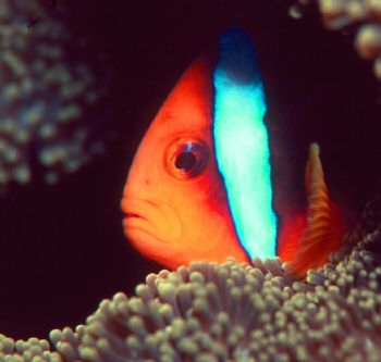 Sad Clown.  Photo taken in Fiji with housed N90s, 105mm l... by Beverly J. Speed