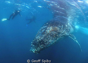 humpback whale by Geoff Spiby