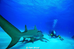Lemon Shark sneaking up behind a diver.  This may be a go... by Pam Wood