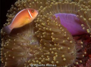 Portrait of a Pink Anemonefish (Amphiprion perideraion) w... by Alberto Romeo