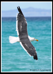 Sea Gull by Raoul Caprez