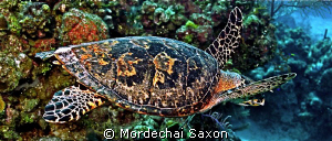 Sea Turtle.    I'm not sure what it is about these turtl... by Mordechai Saxon