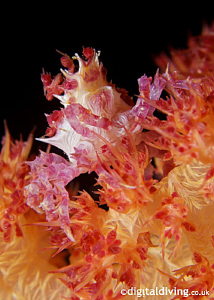 Soft Coral (Candy) Crab out for a stroll in the dark. D20... by David Henshaw