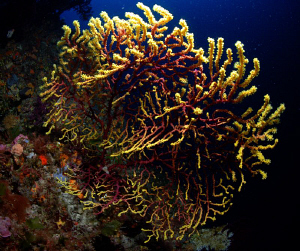 colourchanging Gorgonie in telascica by Andy Kutsch