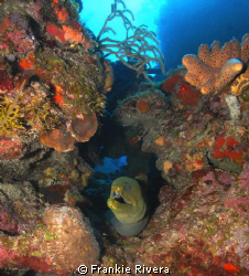 Green Morey Eel @ Efra's Wall, @ Guanica, Puerto Rico by Frankie Rivera
