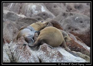 Taken in Los Islotes, Cortez sea by Raoul Caprez