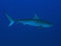 Tiger shark swimming by in the blue. I only had the chanc... by James Dawson