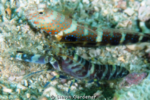luthers shrimp goby and shrimp shot with Nikon and 135 macro by Simon Gardener