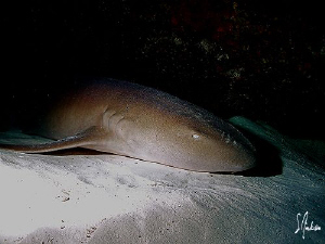 This image of a sleeping Nurse Shark was taken during a d... by Steven Anderson