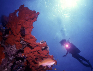 Anthias near a red sponge; a diver in background backligh... by Alberto Romeo
