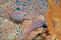 Longnose Hawkfish siiting in a Gorgonia Seafan; it took 3... by Frank Schneider