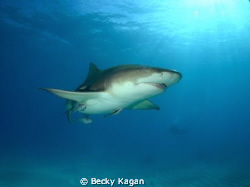 Lemon shark checking out the camera by Becky Kagan