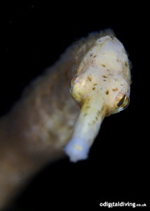 Bend Stick Pipefish. Taken with D200 and 105mm lens by David Henshaw